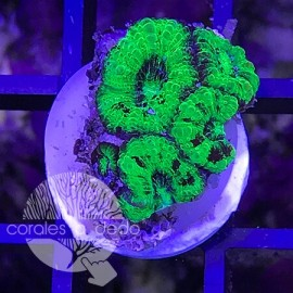 Acanthastrea Screaming Green - 1B4L210318