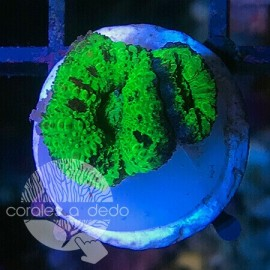 Acanthastrea Screaming Green - 4B1L090418