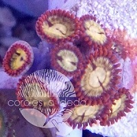 Zoanthus Red Sun Corales a dedo